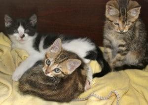 kittens - farm tabbies 2