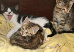 kittens - farm tabbies 4