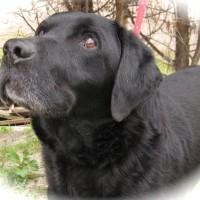 dogs - black lab