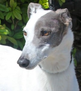 dogs - greyhound 3
