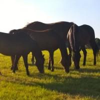 horses - grazing