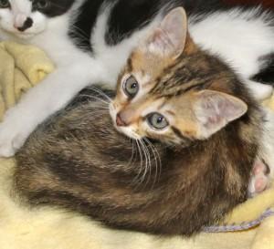 kittens - tabitha