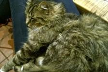 cats -talullah lap cat
