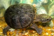 turtle - 5