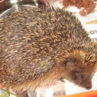hedgehog - injured leg