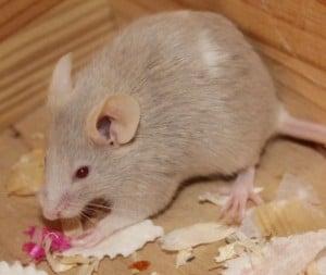 mice - four 2