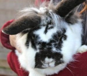 rabbits - dazzle