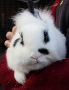 rabbits - dimity