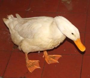 ducks 1 - 1
