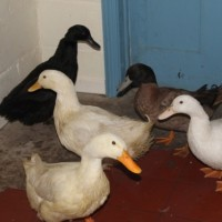 ducks 2 - 1