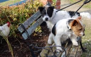 dogs - Basil & Bingo 3 - 1