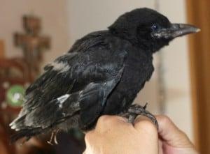 birds - crowbaby 3 - 1