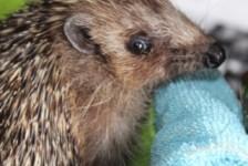 hedgehogs - mr.womble 2016 5 - 1