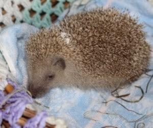 hedgehogs - pearl - 1
