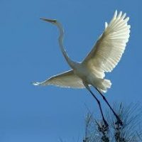 birds - heron in flight - 1
