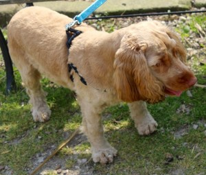 dogs - finley spaniel - 1