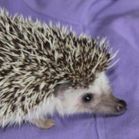 hedgehog - african 2 - 1