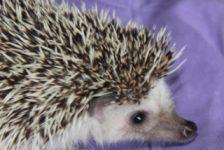 hedgehog - african 2 - 1