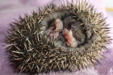 hedgehogs - baby 3 - 1