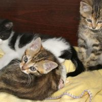 kittens - farm tabbies