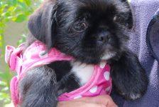dogs - pug puppy 4 - 1