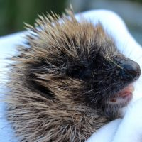 hedgehogs - casualty 1 - 1