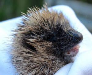 hedgehogs - casualty 1 - 1