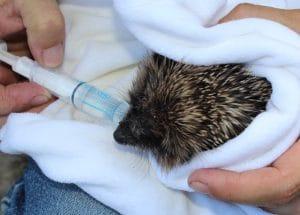 hedgehogs - casualty 3 - 1