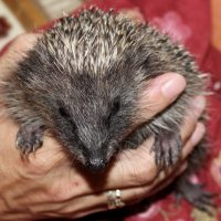 hedgehogs - solo 11 - 1