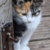 kittens - calico girls - 1