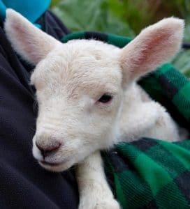 lambs - lucinda - 1
