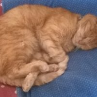 lost pet - tig ginger female - 1