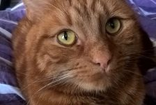 lost pets -  ginger cat - 1