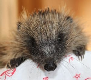 hedgehog-poolsbrook-1-1