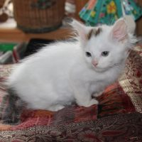kittens-snowball-1-1
