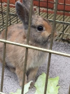 Found – a young rabbit Old Whittington are