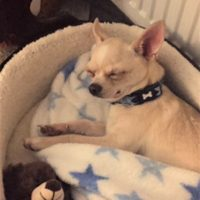 Teddy chihuahua emergency pet rescue
