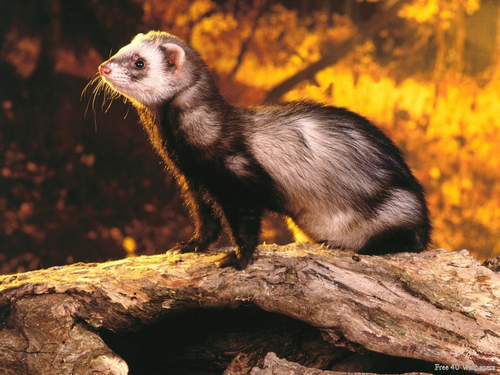 Have you lost a ferret?