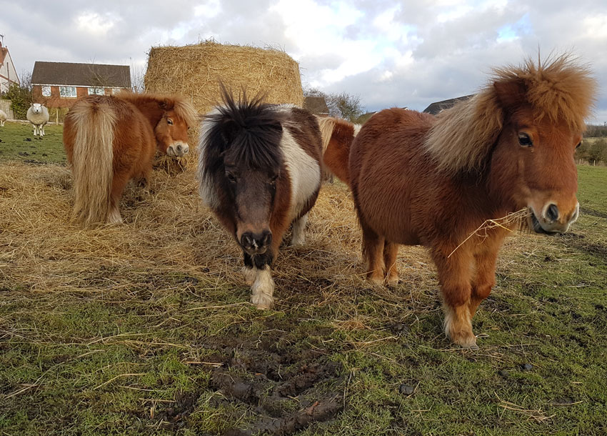 mini ponies at the animal sanctuary