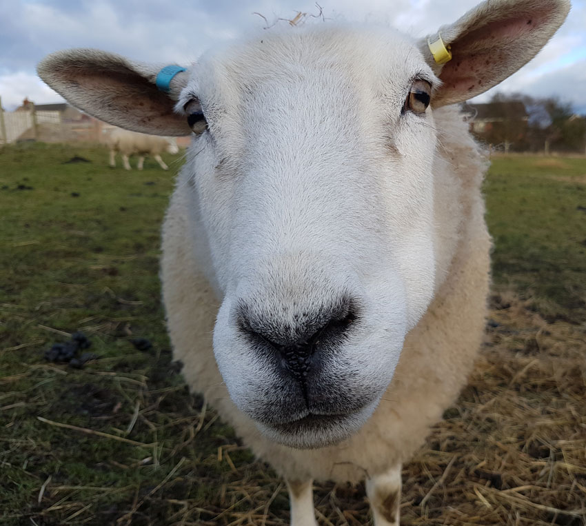 Sheep Picture