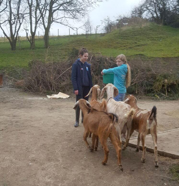 anglo nubian goats