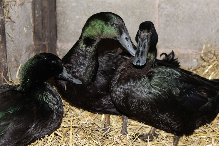Trio Cayuga Ducks