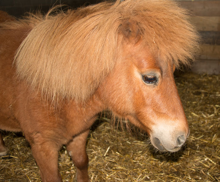 Urgent Appeal to Save Sundance Our Minature Pony