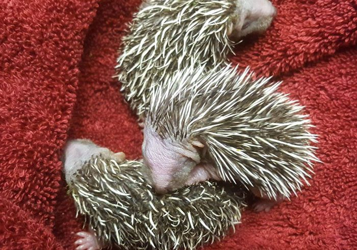 Rescued Baby Hedgehogs are on the road to recovery