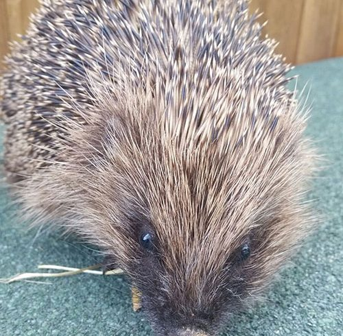 Wildlife Rescues – Pigeons, Magpies, Crows, Hedgehogs and a Cockeral