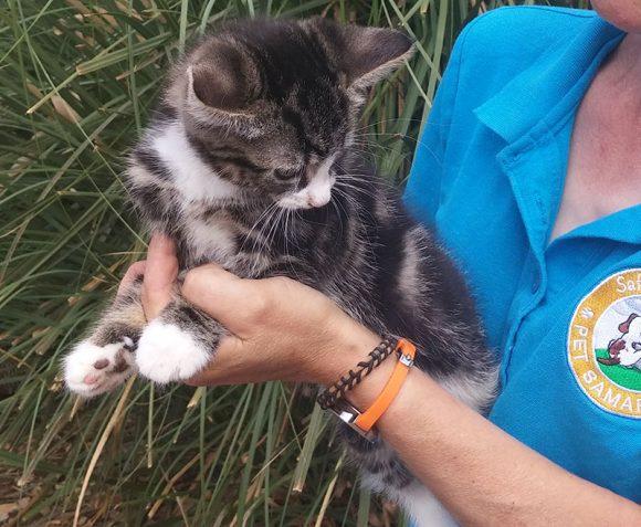 Loki Kitten for Adoption