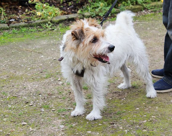 Gillie Terrier for Adoption