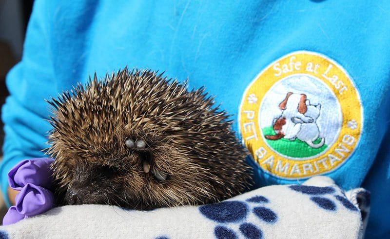 Tick problem for Poorly Hedgehog