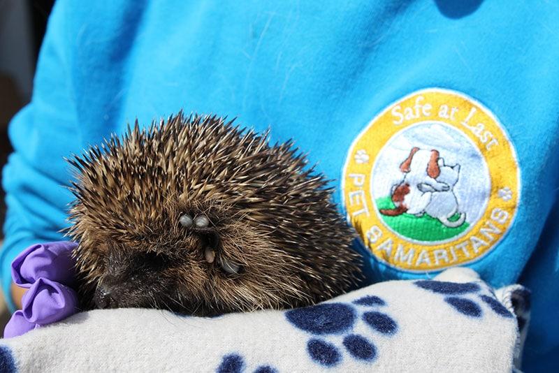 Tick problem for Poorly Hedgehog