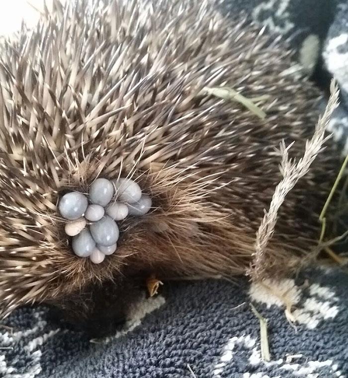 hedgehog ticks